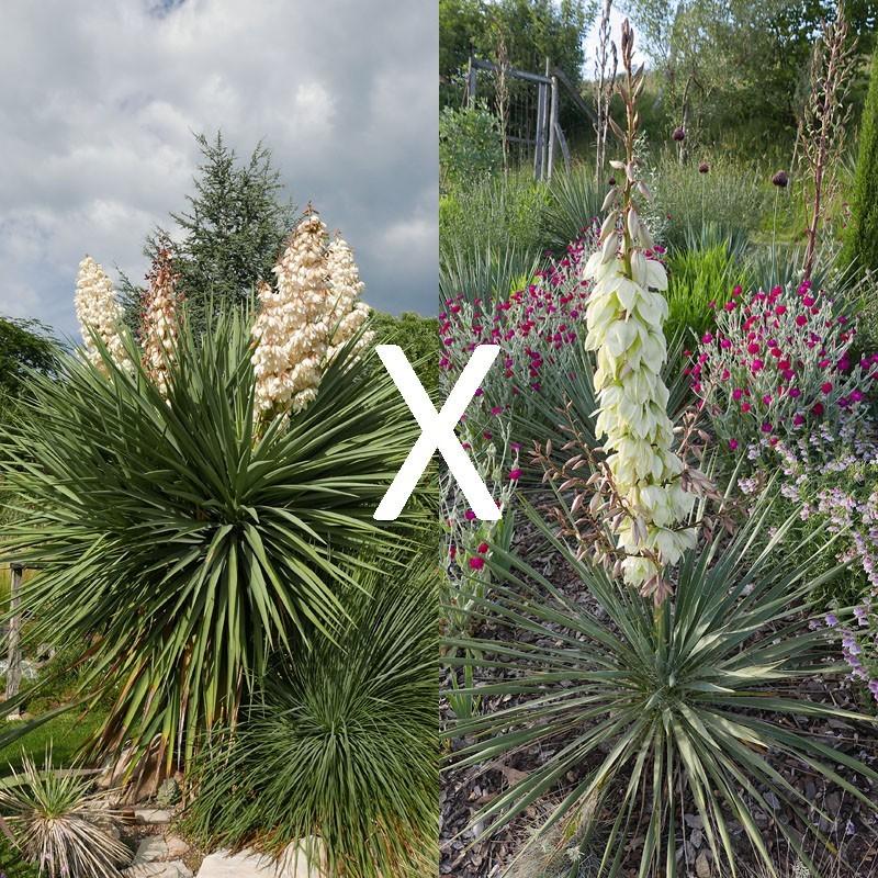Yucca Hybrid GG 201, Pflanzen für besondere Gärten, Yuccashop -