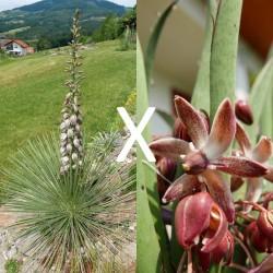 Yucca Hybrid GG 161, Pflanzen für besondere Gärten, Yuccashop -