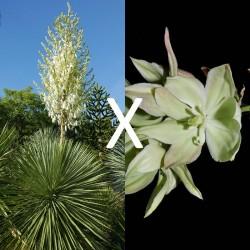 Yucca Hybrid GG 151, Pflanzen für besondere Gärten, Yuccashop -