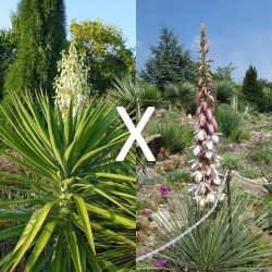Yucca Hybrid GG 174, Pflanzen für besondere Gärten, Yuccashop -
