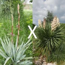 Yucca Hybrid GG 164, Pflanzen für besondere Gärten, Yuccashop -