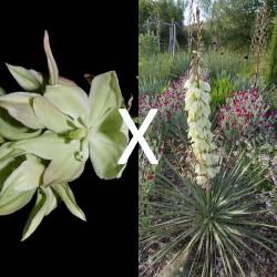 Yucca Hybrid GG 169, Pflanzen für besondere Gärten, Yuccashop -