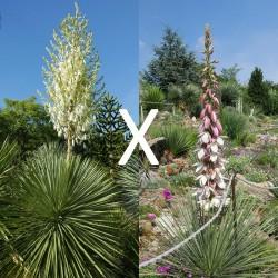 Yucca Hybrid GG 149, Pflanzen für besondere Gärten, Yuccashop -