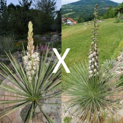 Yucca Hybrid GG 145, Pflanzen für besondere Gärten, Yuccashop -