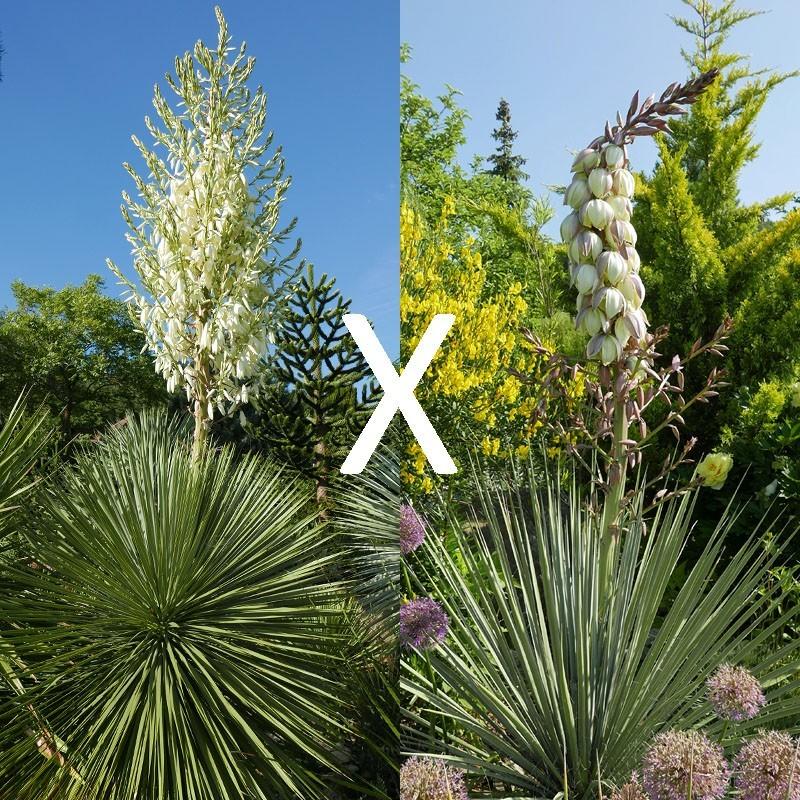 Yucca Hybrid GG 152, Pflanzen für besondere Gärten, Yuccashop -