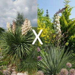 Yucca Hybrid GG 193, Pflanzen für besondere Gärten, Yuccashop -