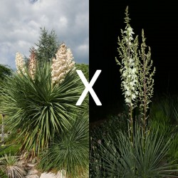Yucca Hybrid GG 200, Pflanzen für besondere Gärten, Yuccashop -