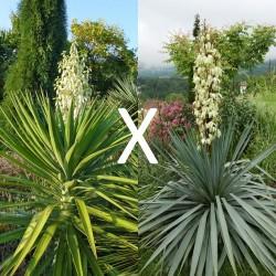 Yucca Hybrid GG 179, Pflanzen für besondere Gärten, Yuccashop -