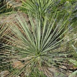Yucca elata var. verdiensis LZ 2075, Palmlilien vom Yuccashop -