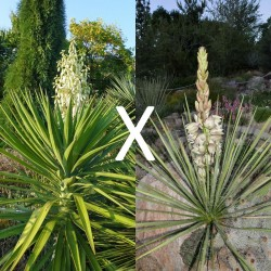 Yucca Hybrid GG 173, Pflanzen für besondere Gärten, Yuccashop -