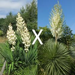 Yucca Hybrid GG 187, Pflanzen für besondere Gärten, Yuccashop -