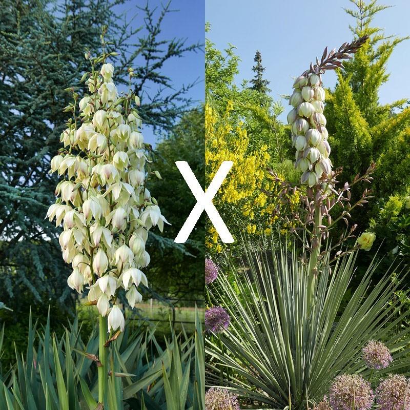 Yucca Hybrid GG 172, Pflanzen für besondere Gärten, Yuccashop -