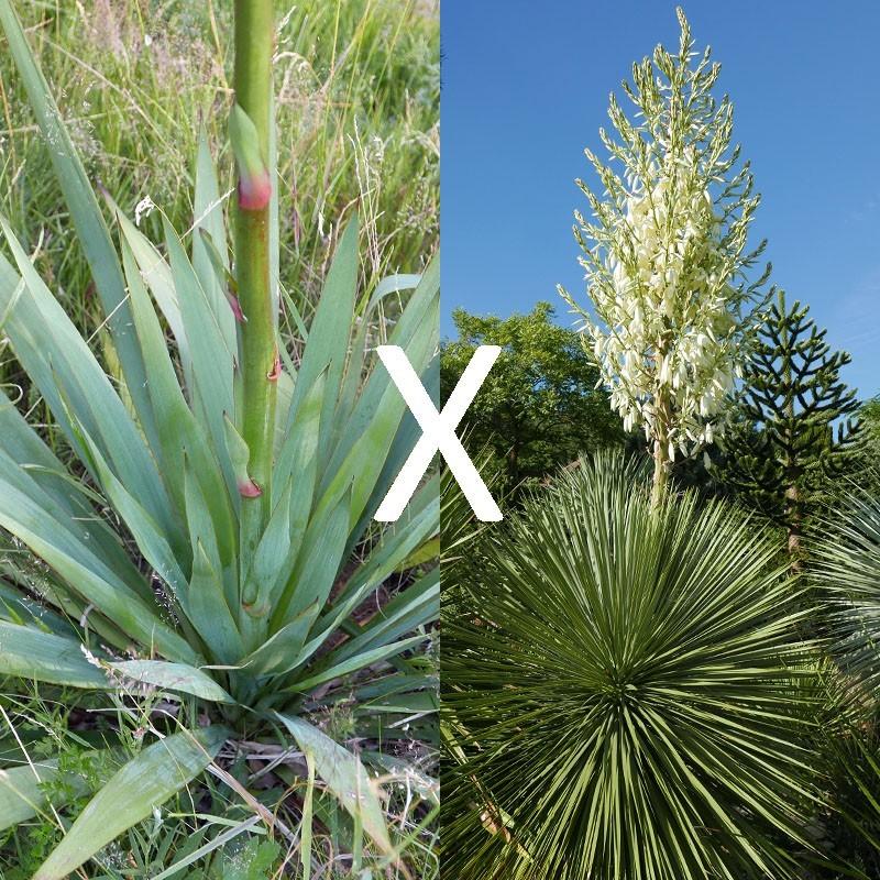 Yucca Hybrid GG 163, Pflanzen für besondere Gärten, Yuccashop -