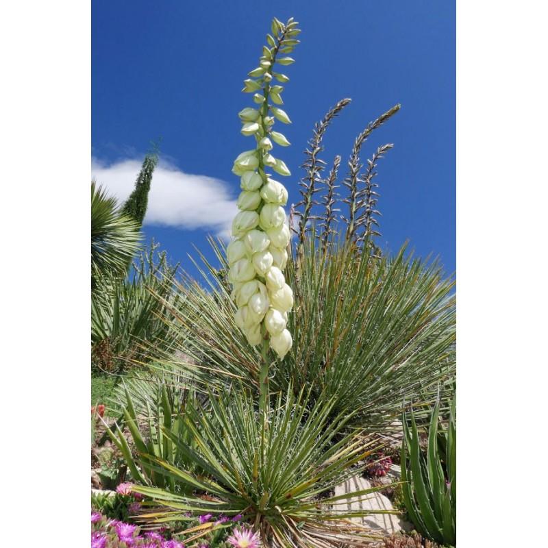 Yucca nana [San Juan Co.], Palmlilien vom Yuccashop -