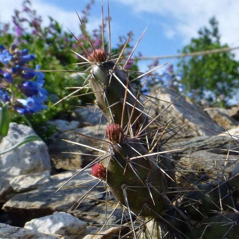Opuntia fragilis SB 229, Kakteen im Yuccashop kaufen -