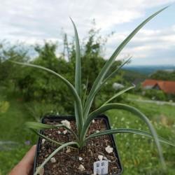 Yucca Hybrid GG 198, Pflanzen für besondere Gärten, Yuccashop -