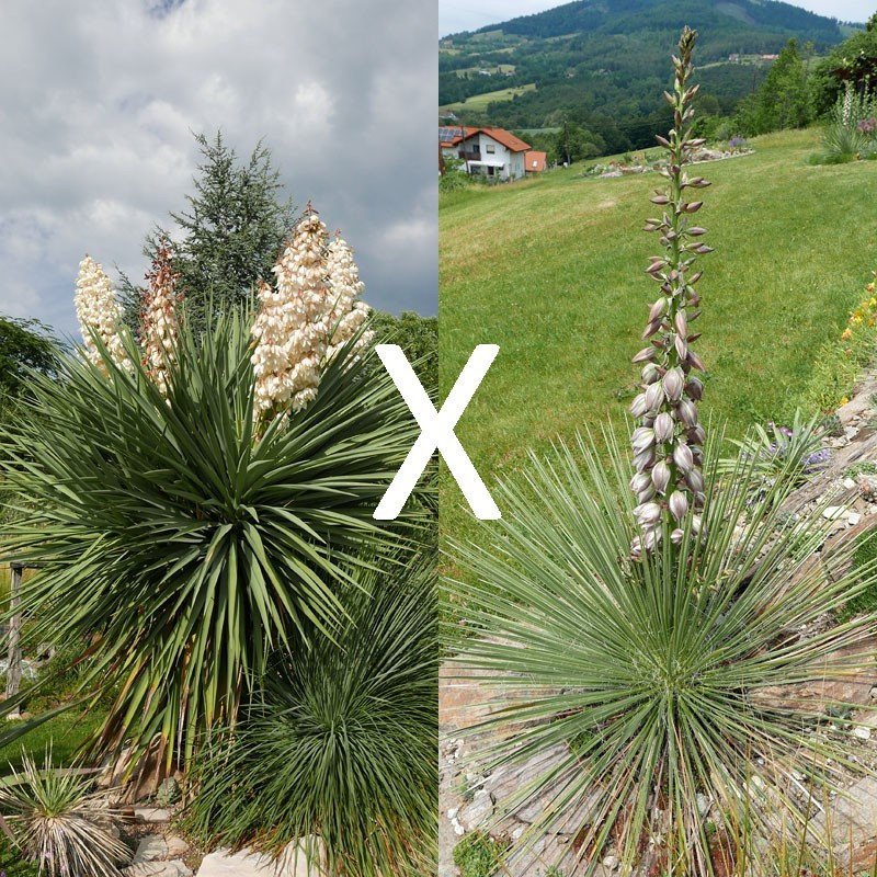 Yucca Hybrid GG 194, Pflanzen für besondere Gärten, Yuccashop -