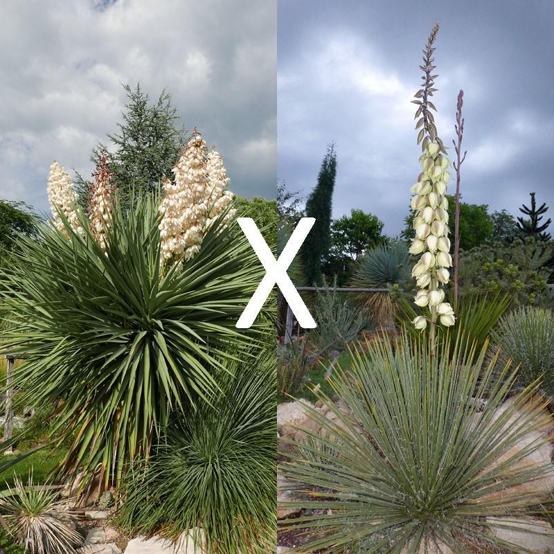Yucca Hybrid GG 195, Pflanzen für besondere Gärten, Yuccashop -