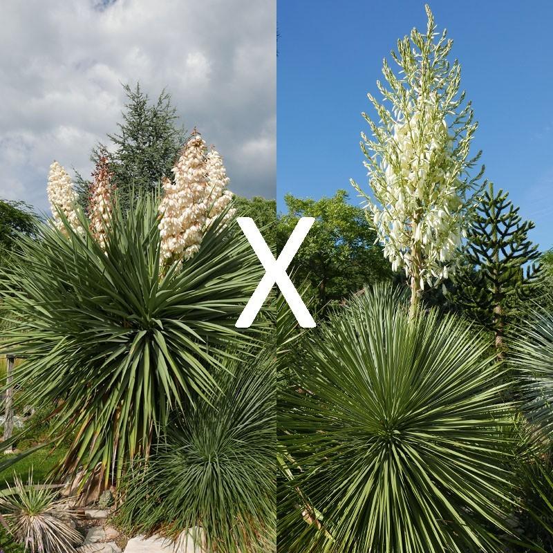 Yucca Hybrid GG 197, Pflanzen für besondere Gärten, Yuccashop -
