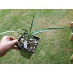 Yucca Hybrid GG 199, Pflanzen für besondere Gärten, Yuccashop -