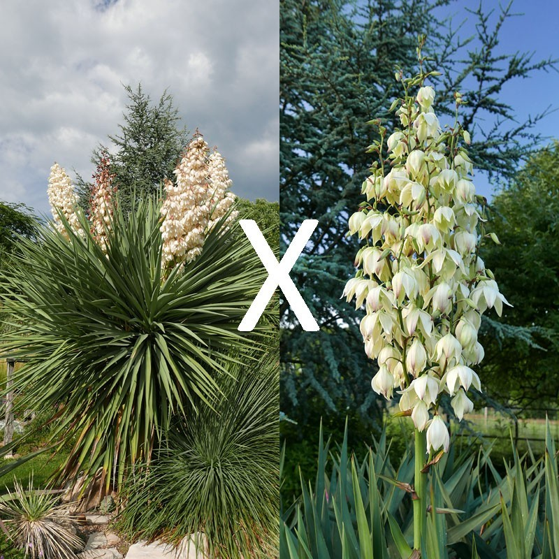 Yucca Hybrid GG 191, Pflanzen für besondere Gärten, Yuccashop -
