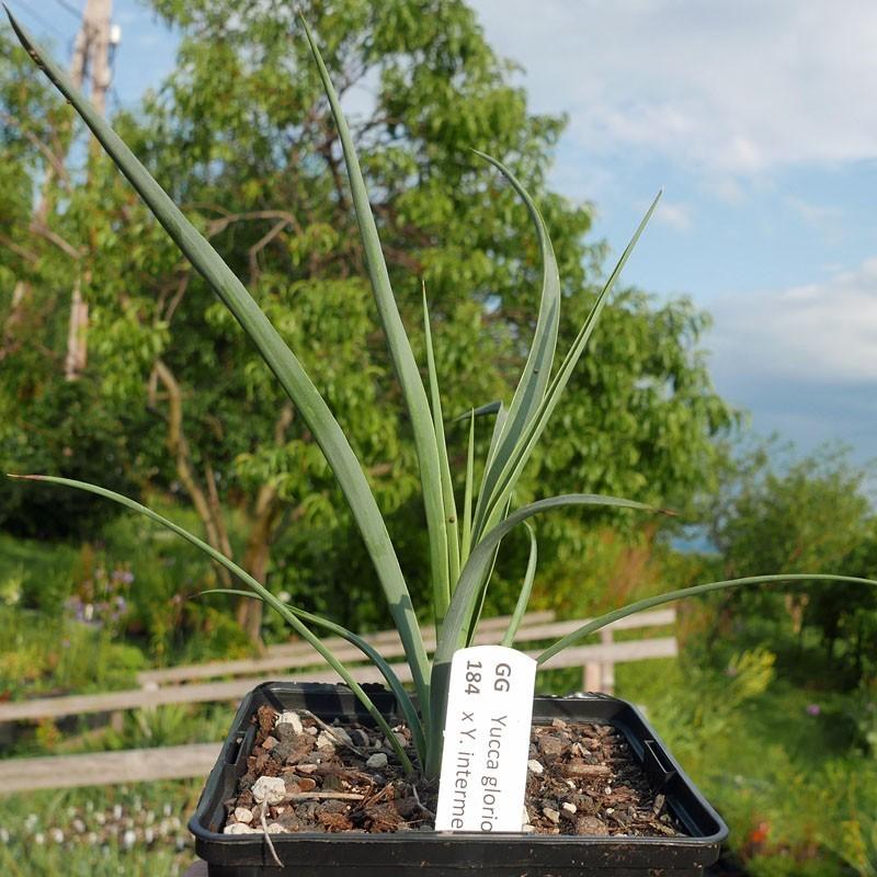 Yucca Hybrid GG 184, Pflanzen für besondere Gärten, Yuccashop -