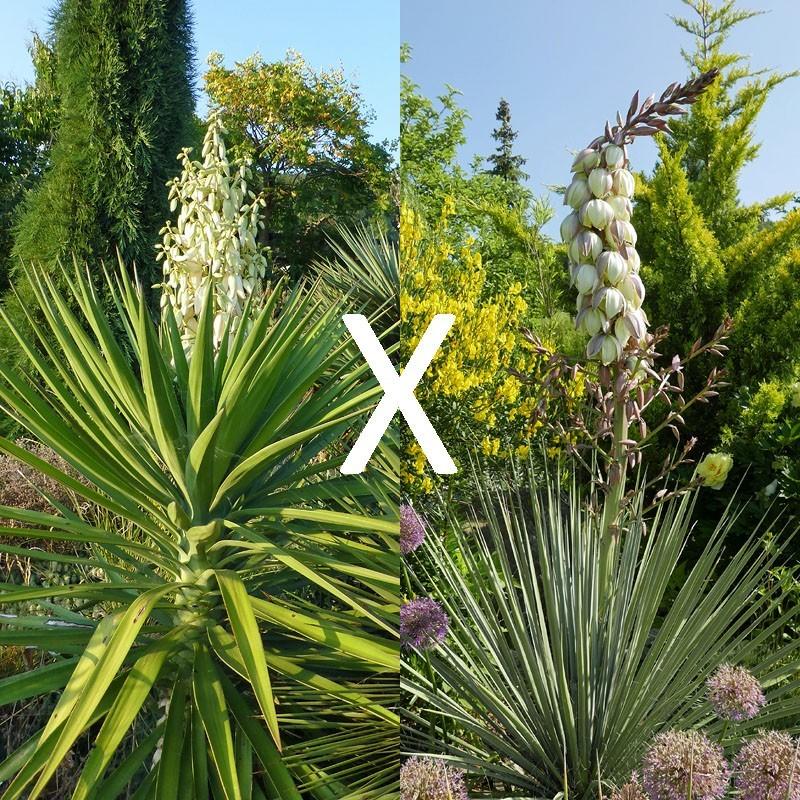 Yucca Hybrid GG 176, Pflanzen für besondere Gärten, Yuccashop -
