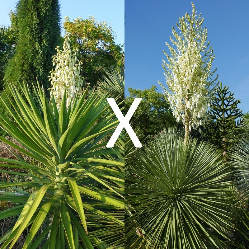 Yucca Hybrid GG 178, Pflanzen für besondere Gärten, Yuccashop -