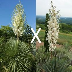 Yucca Hybrid GG 154, Pflanzen für besondere Gärten, Yuccashop -