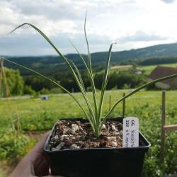 Yucca Hybrid GG 156, Pflanzen für besondere Gärten, Yuccashop -