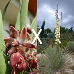 Yucca Hybrid GG 147, Pflanzen für besondere Gärten, Yuccashop -
