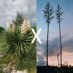Yucca Hybrid GG 192, Pflanzen für besondere Gärten, Yuccashop -