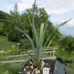 Yucca Hybride GG 086, Pflanzen für besondere Gärten, Yuccashop -