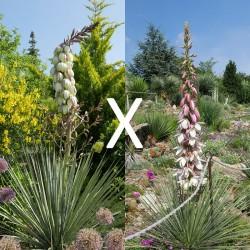 Yucca Hybrid GG 158, Pflanzen für besondere Gärten, Yuccashop -