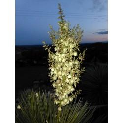 Yucca campestris, Pflanzen für besondere Gärten, Yuccashop -