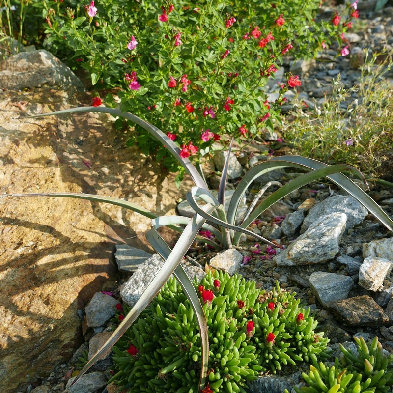 Yucca baccata var. vespertiana, Palmlilien vom Yuccashop -