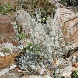 Eriogonum niveum, Schneweißen Wollknöterich im Yuccashop kaufen. -