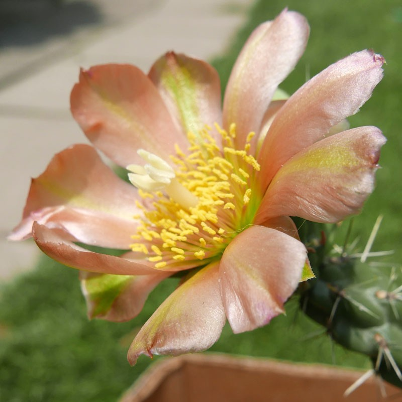 Cylindropuntia x viridiflora ''Lachs'', Santa Fe Cholla vom Yuccashop -