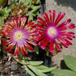 Delosperma 'Oscar Mpetha', Mittagsblumen vom Yuccashop -