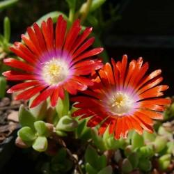 Delosperma 'Frederic', Mittagsblumen vom Yuccashop -