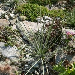 Yucca spec. [White Ghosts], Palmlilien vom Yuccashop -