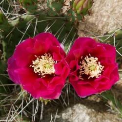 Opuntia ''Himbeer-Sahne'' im Yuccashop kaufen -