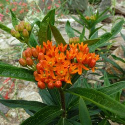 Asclepias tuberosa ssp. interior, orange, im Yuccashop kaufen -