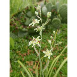 Anticlea elegans (Zygadenus), Jochlilie vom Yuccashop -