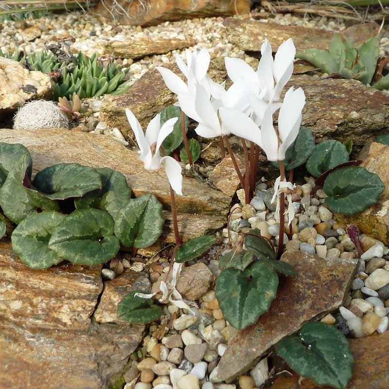 Cyclamen cilicum album, Alpenveilchen vom Yuccashop -