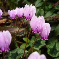 Cyclamen hederifolium, Alpenveilchen im Yuccashop kaufen -