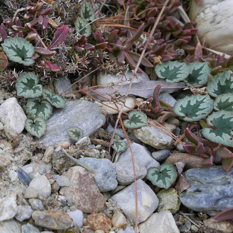 Cyclamen mirabile, Alpenveilchen im Yuccashop kaufen -