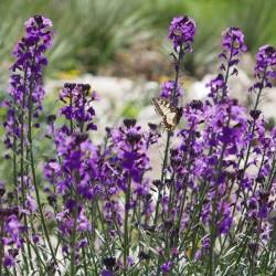 Erysimum linifolium 'Bowles Mauve' vom Yuccashop -