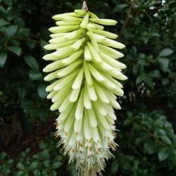 Kniphofia Hybriden bunt, Fackellilie, Raketenblume, Yuccashop -