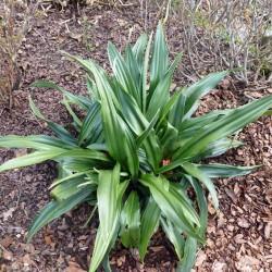 Rohdea japonica im Yuccashop kaufen -